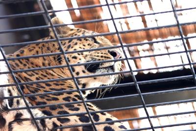 2006_08_13_jaguar