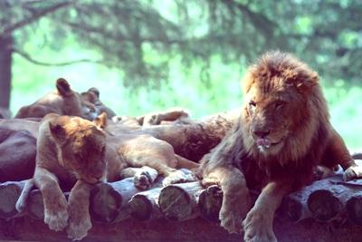2006_08_13_lion
